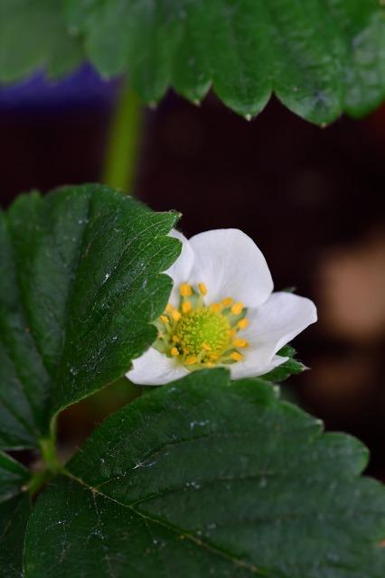 4月の雪、イチゴの花